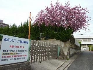 20120424八重桜.jpg