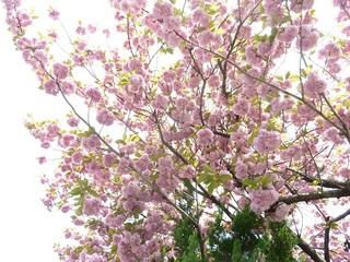 20120424八重桜花B.jpg